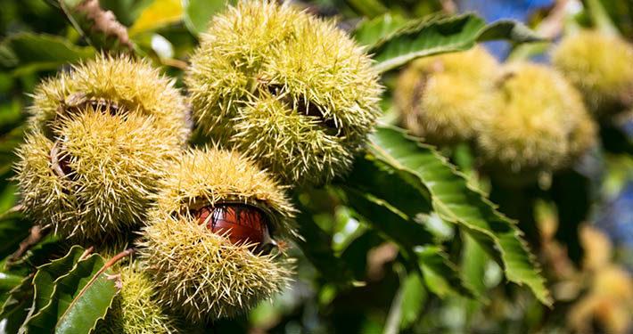 #AmiatAutunno: da settembre agli inizi di dicembre, otto comuni del Monte Amiata propongono una rassegna di appuntamenti dedicati ai prodotti tipici.